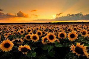 sun flower wallpaper hd 4k 7