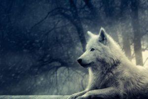 wolf wallpapers hd 4k 13