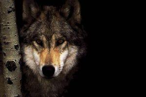 wolf wallpapers hd 4k 22