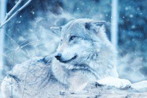 wolf wallpapers hd 4k 54