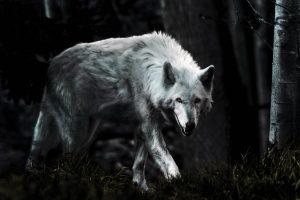 wolf wallpapers hd 4k 66