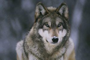 wolf wallpapers hd 4k 67