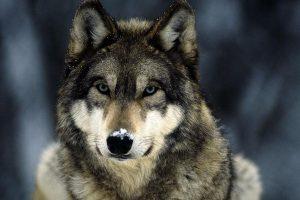 wolf wallpapers hd 4k 75